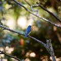 冬の森の青い鳥