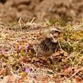 小さい春見つけた! 畦道のツグミの周りに小さな花
