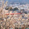写真: 富士山公園の白梅