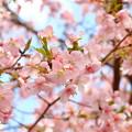 Photos: ご近所の桜