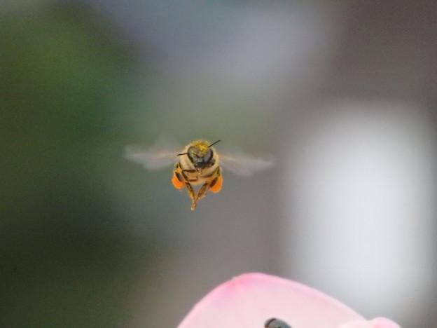 写真: ハチ「まいど~」