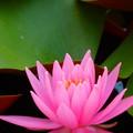 写真: ピンクのハス