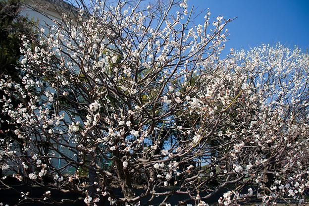 梅の花 芳流閣01_フラワーセンター大船植物園
