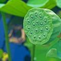 上野公園の不忍池「蓮の花托」