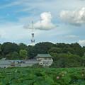 上野公園の不忍池「蓮」とスカイツリー