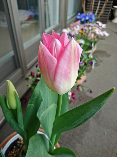 写真: ベランダの春の風@チューリップ
