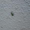 Photos: 【虫注意】なんか今日バルコニー出たらこの5ミリくらいの虫が沢山い...