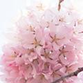 Photos: Sakura-0547
