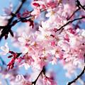 Photos: Sakura-0572