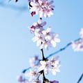 Photos: Sakura-0574