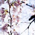 Photos: Sakura-0578