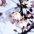 Photos: Sakura-0579