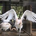 160917-8タンチョウの幼鳥