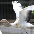 160927-6タンチョウの幼鳥