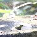 161218-19メジロの水浴び