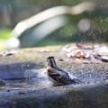 161218-21アトリの水浴び