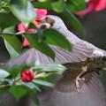 写真: 170311-1ホバリングしてツバキの蜜を吸うヒヨドリ