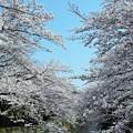 石神井川散歩?