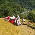 段々畑の稲刈りが始まりました。1
