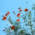 見上げれば、黄花コスモス碧い空。