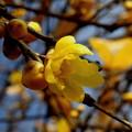 写真: 一輪の蝋梅の花に・・・。