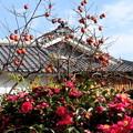 写真: 山茶花と柿の屋敷