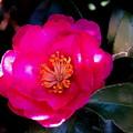 写真: 山茶花、旬の輝き・1