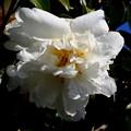 写真: 山茶花、旬の輝き・2