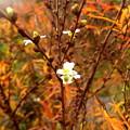 写真: 野に咲く一番星、雪柳。