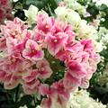 花束ビリア(ブーゲンビリア)