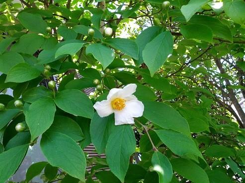 沙羅双樹の花(2016年6月18日撮影、仙台市青葉区にて)