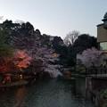 Photos: 椿山荘の桜(2017.4.4)