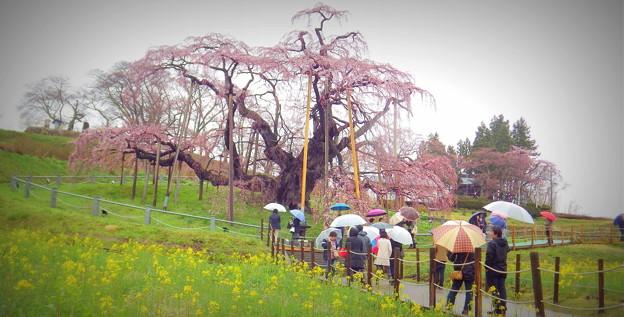 三春滝桜 1-IMGP0322