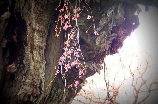 三春滝桜 1-IMGP0425
