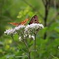 写真: ヒヨドリバナにヒョウモンチョウとジャノメチョウ