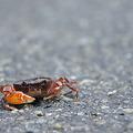 写真: 道路でサワガニに遭遇