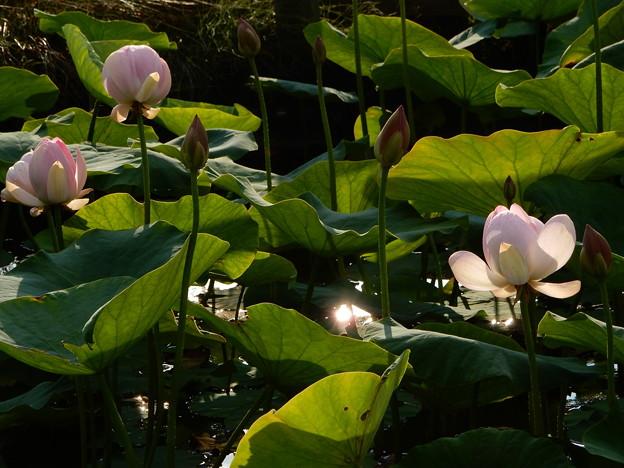 五郎沼の蓮