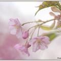 写真: 河津桜?