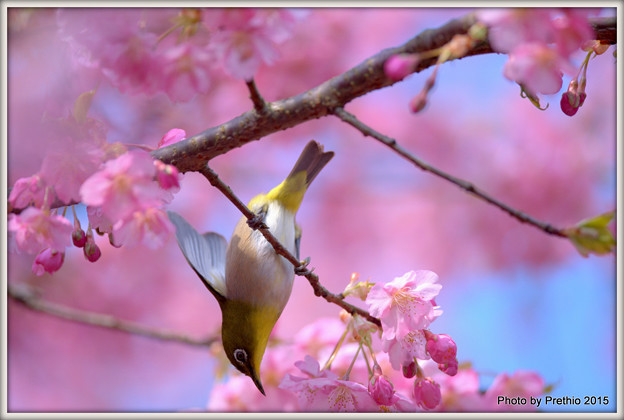 写真: 桜メジロ?