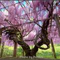 写真: 河内藤園 赤藤