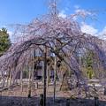 2017 善光寺の垂れ桜1