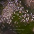 2017 雲遊寺の山桜4