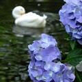 参道脇の紫陽花 2