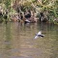 鮭が遡る川で