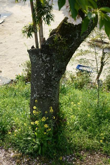 竹筒に桜を生けるのは風流だが・・・