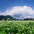 写真: 蕎麦畑