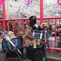 写真: 目黒川の桜1