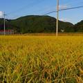 写真: 収穫間近(2)