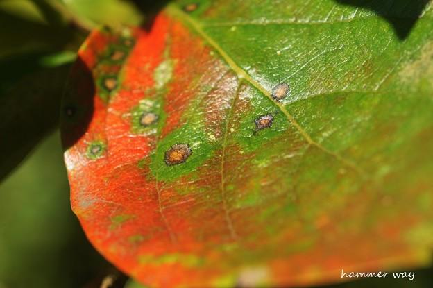 柿の葉アート