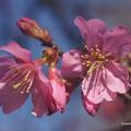 今朝の早春桜
